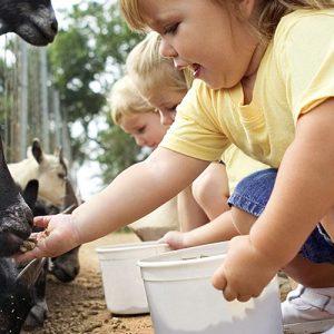 Children Feeding Goats, Suffolk Activities
