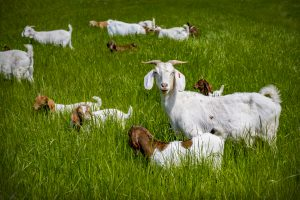 What do meat goats look like?