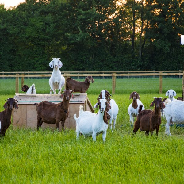 Herd of Friendly Goats