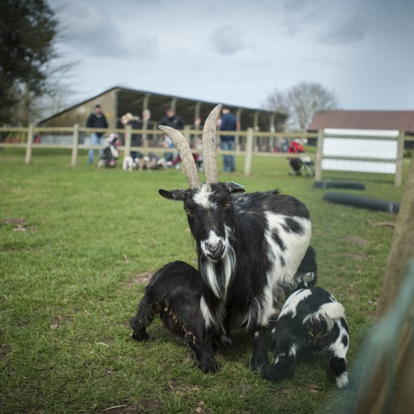 Local attractions in Suffolk, Eastern Farm Park