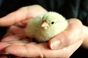 Chicken Hatching at Honeysuckle Farm, Suffolk